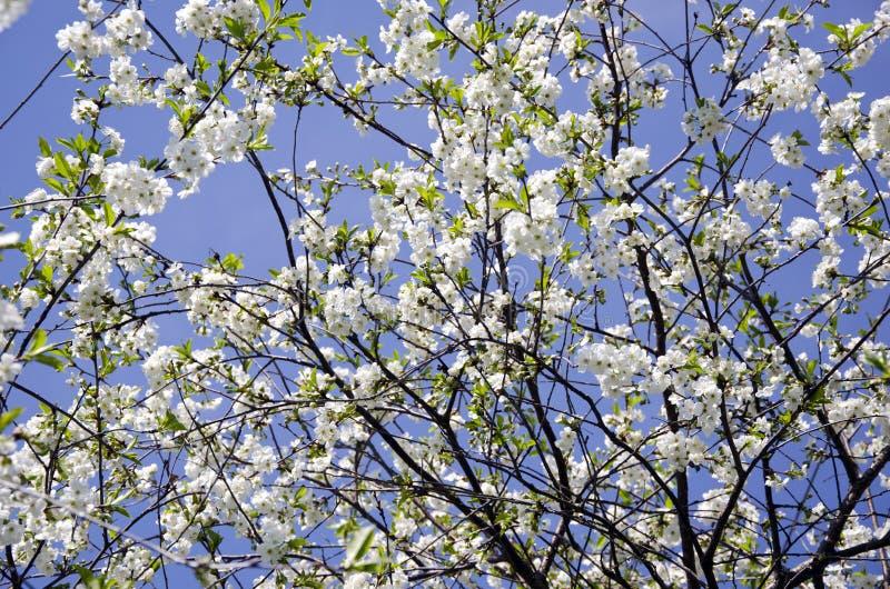 Blomstra det körsbärsröda trädet för vårtid arkivbilder