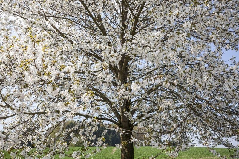 Blomstra det körsbärsröda trädet i Hagen, Osnabrueck land, tysk arkivfoton