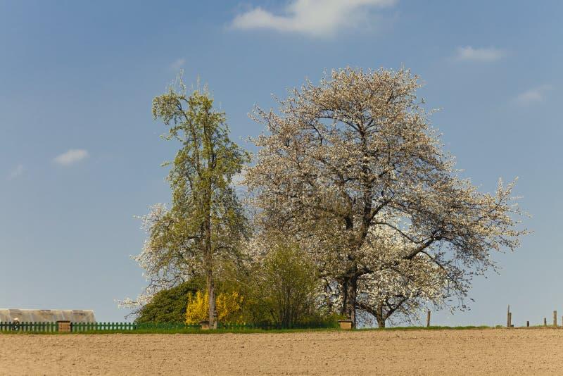 Blomstra det körsbärsröda trädet i vår, norr Rhen-Westphalia, Tyskland arkivfoton