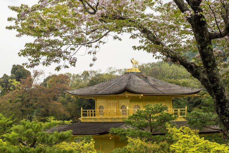 Blomstra det körsbärsröda trädet inramar den guld- Kinkaku-ji templet i kyoto, Japan royaltyfri foto