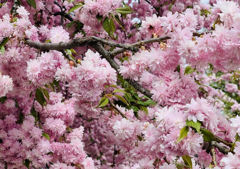 Blomstra det kanzan rosa sakura för prunusserrulata körsbärsröda trädet i vår royaltyfri foto