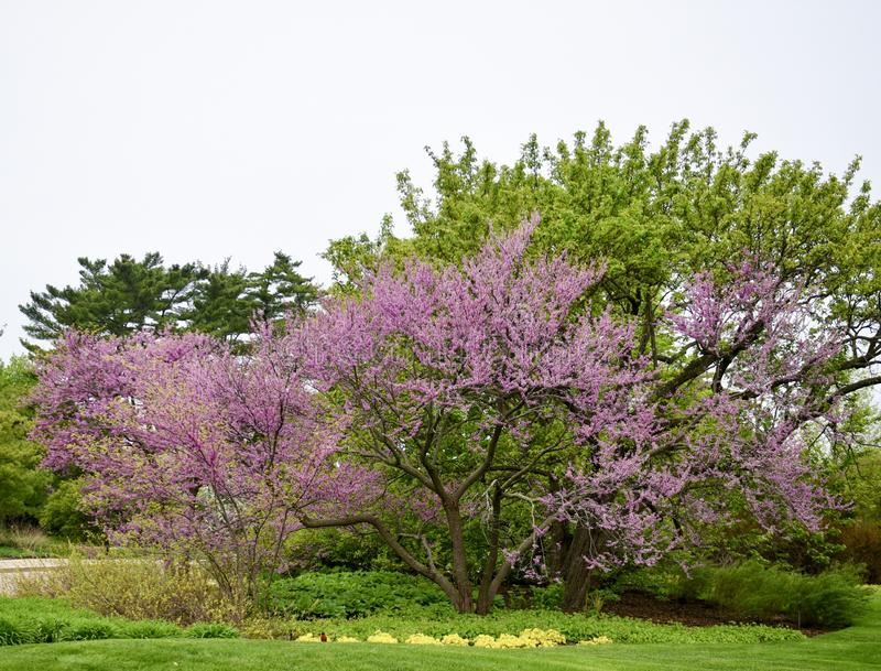 Blomstra det Redbud trädet arkivbilder