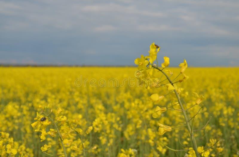 Blomstra fält av Ryssland tidig fjäder södra royaltyfri fotografi