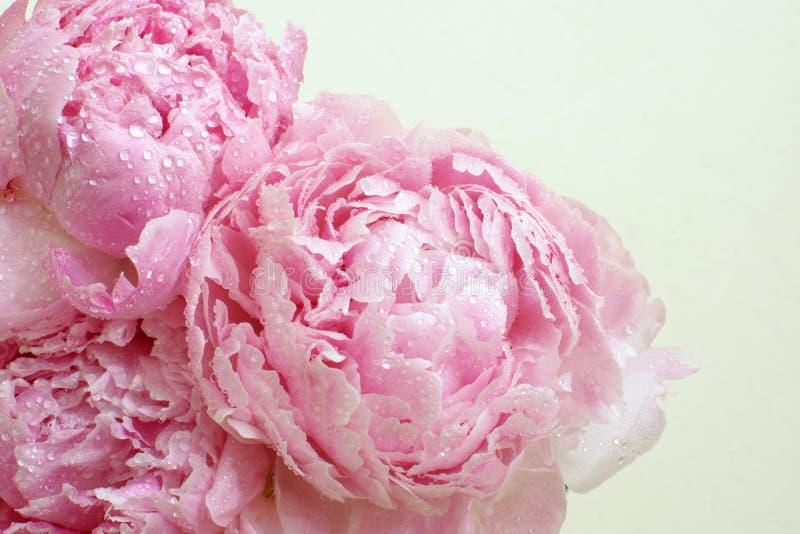 Blomstra färgar blommor av pionbuketten av mjuka rosa färger med droppar av vatten på kronbladen royaltyfria bilder