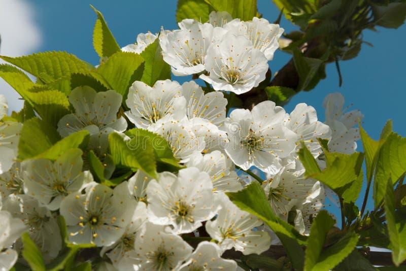 Blomstra för körsbärsrött träd filialslut upp mot en blå himmel royaltyfri fotografi