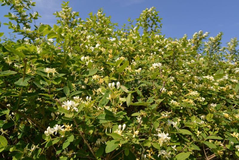 Blomstra för kaprifol (Loniceracaprifolium L ), arkivfoton