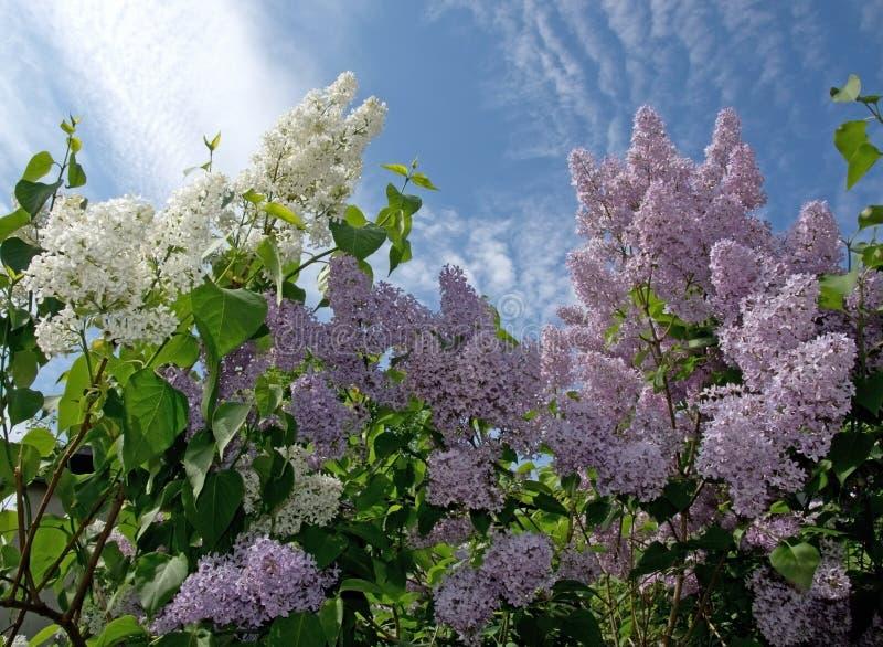 Blomstra för lilor royaltyfri fotografi