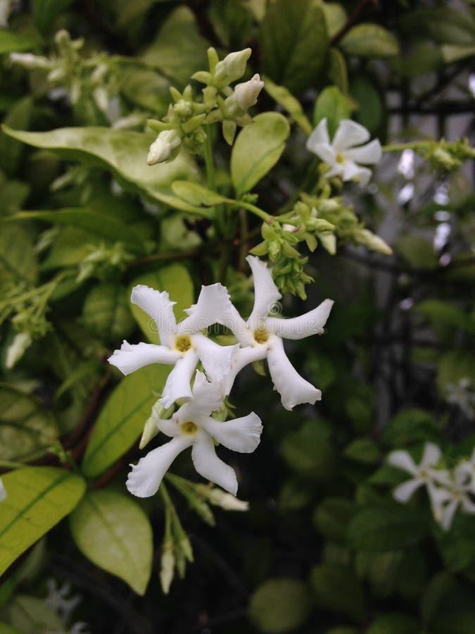 Blomstra för TrachelospermumJasminoides (stjärnajasmin) växt arkivbild