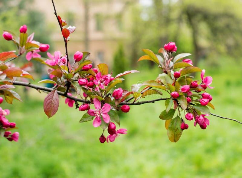 blomstra filial för äpple arkivbilder