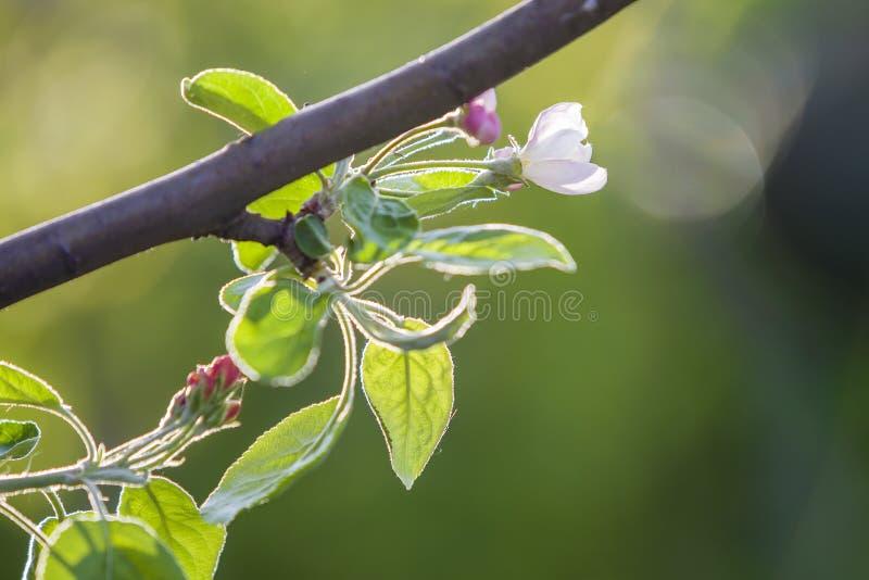 blomstra filial f?r ?pple Vit blomma, rosa knoppar och ljust - gröna små sidor på bakgrund för kopieringsutrymmebokeh royaltyfri bild