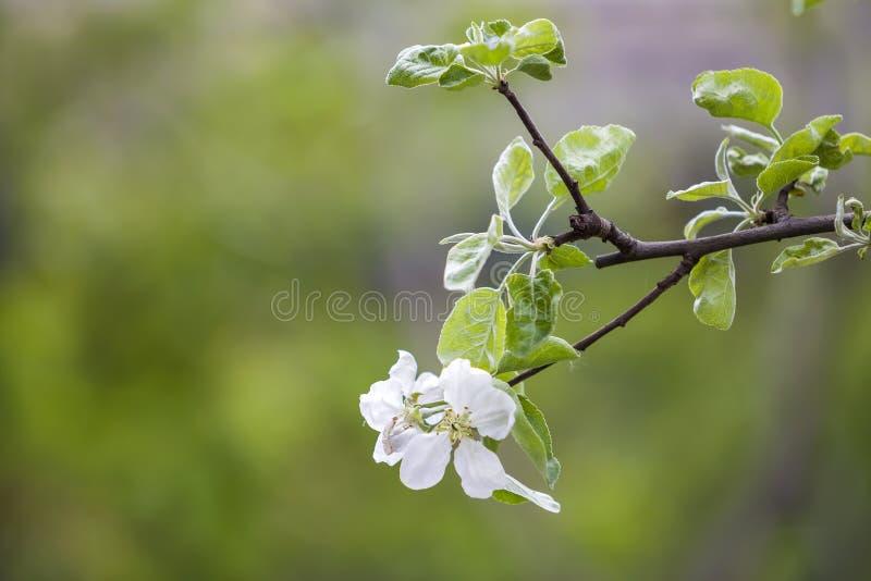 blomstra filial f?r ?pple Vit blommor med mjuka kronblad och ljust - gröna små sidor på suddig bakgrund för kopieringsutrymmeboke arkivbilder