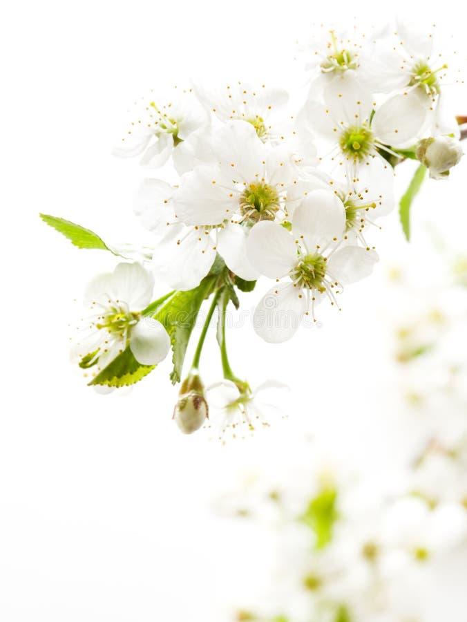 blomstra filialCherry arkivbild