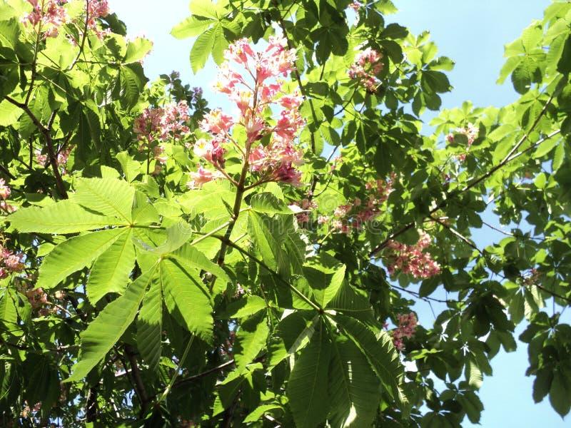blomstra filialen av ett kastanjebrunt träd med röda blommor royaltyfri fotografi