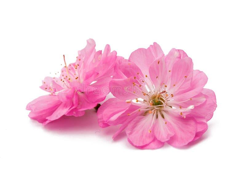Blomstra filialen av mandeln (PRUNUSEN TRILOBA) royaltyfri foto