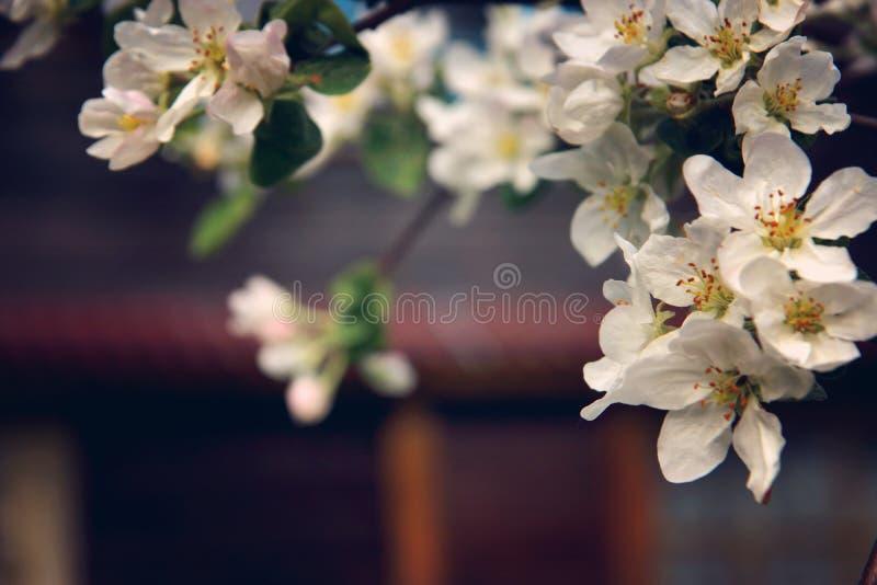 Blomstra filialer av ett äppleträd med många blommor på en bakgrund av huset arkivfoto