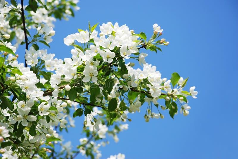 blomstra filialtree för äpple royaltyfria foton