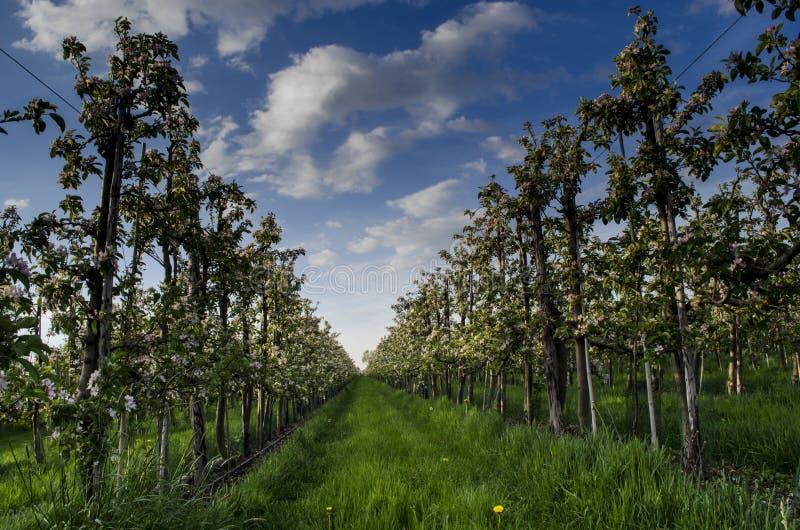 Blomstra fruktträd arkivfoto