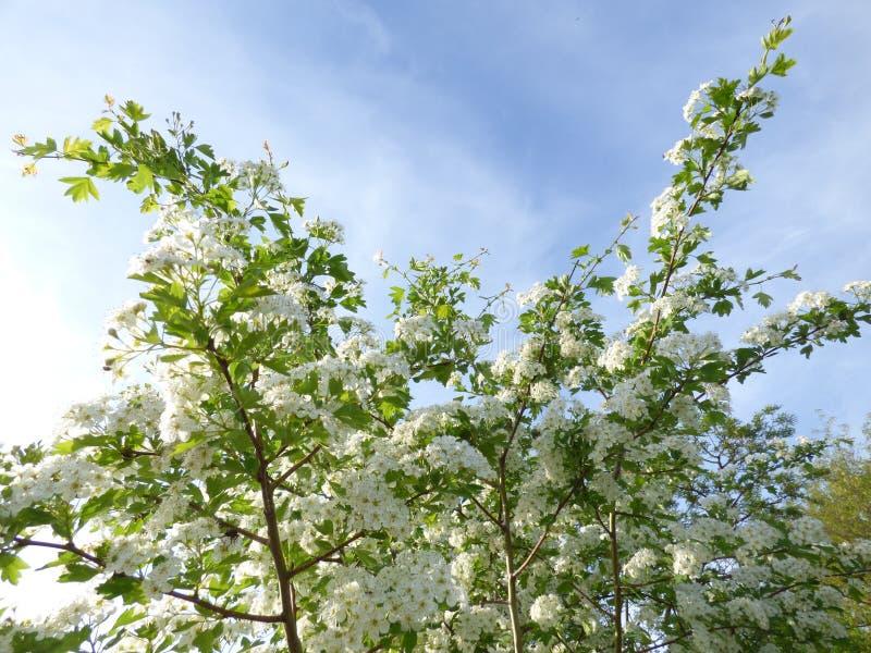 Blomstra hagtornbusken i solljuset royaltyfri fotografi