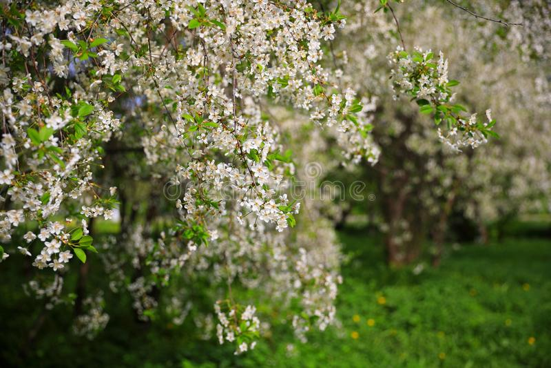 Blomstra k?rsb?rsr?da tr?d med vita blommor arkivbild