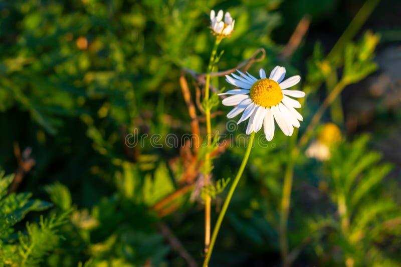 Blomstra lösa blommor för vit och gul kamomill på gröna sidor och gräsbakgrund i sommar royaltyfri fotografi