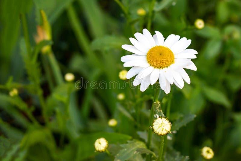 Blomstra lösa blommor för vit och gul kamomill på gröna sidor och gräsbakgrund i sommar arkivfoton