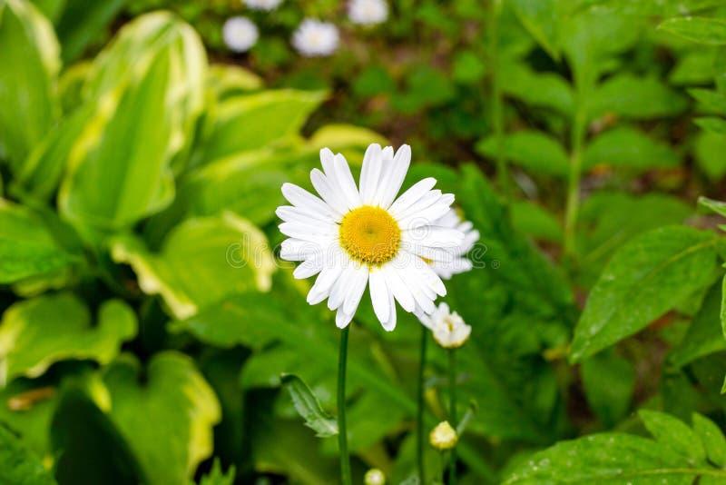 Blomstra lösa blommor för vit och gul kamomill på gröna sidor och gräsbakgrund i sommar royaltyfria bilder