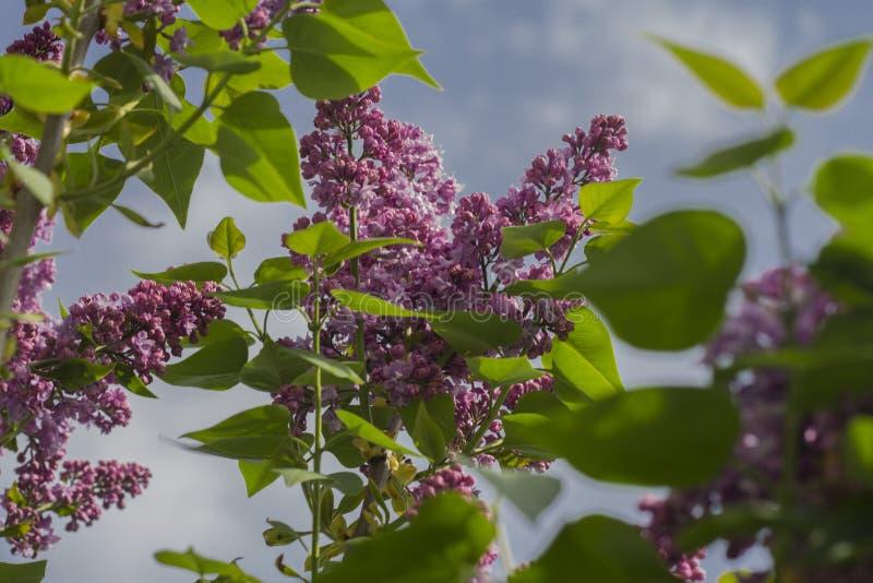 Blomstra lilor fotografering för bildbyråer