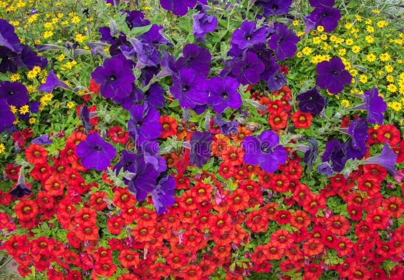 Blomstra ljusa blommor på en blomsterrabatt i den ljusa solljuscloseupen royaltyfri fotografi
