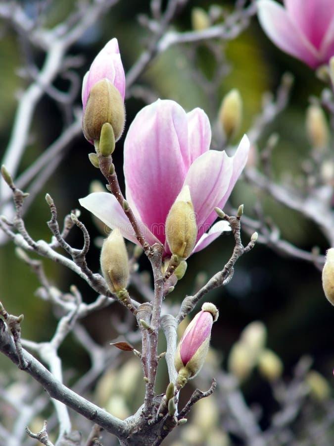 Blomstra Magnolia Arkivfoton