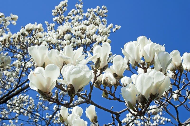 blomstra magnoliawhite royaltyfria bilder