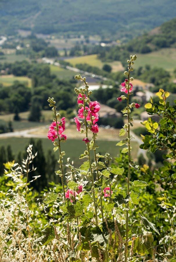 Blomstra malvablomman mot bakgrunden av det lantliga landskapet av Provence royaltyfria bilder