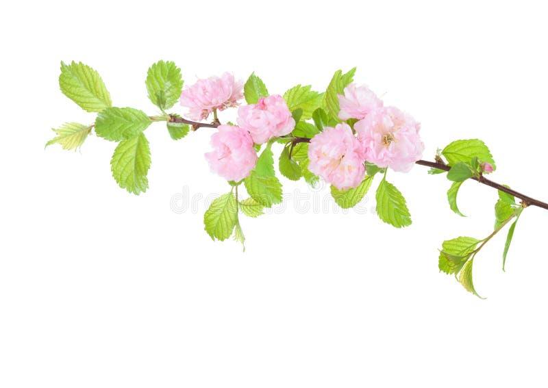 Blomstra mandelfilialen som isoleras på vit bakgrund Prunustriloba fotografering för bildbyråer