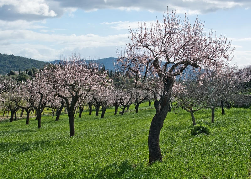 blomstra mandelträd arkivbilder