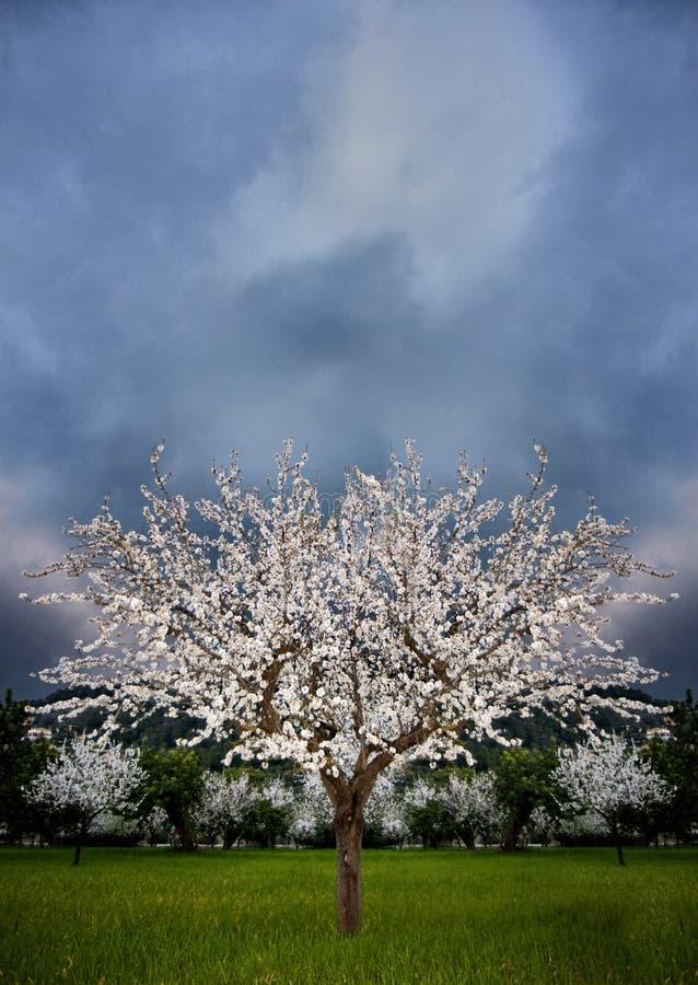 Blomstra mandelträdet arkivfoto