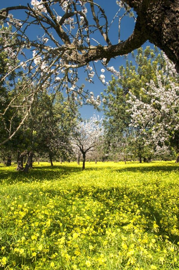 Blomstra mandelträdet arkivbilder