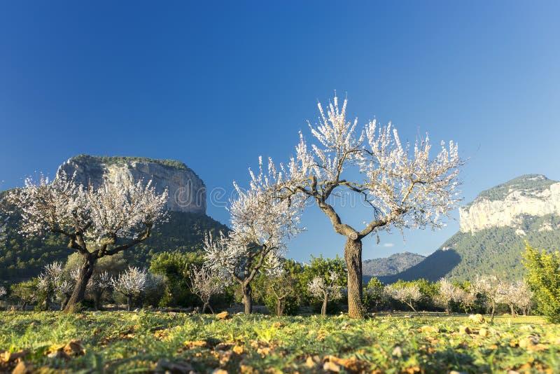 Blomstra mandelträdet royaltyfria foton