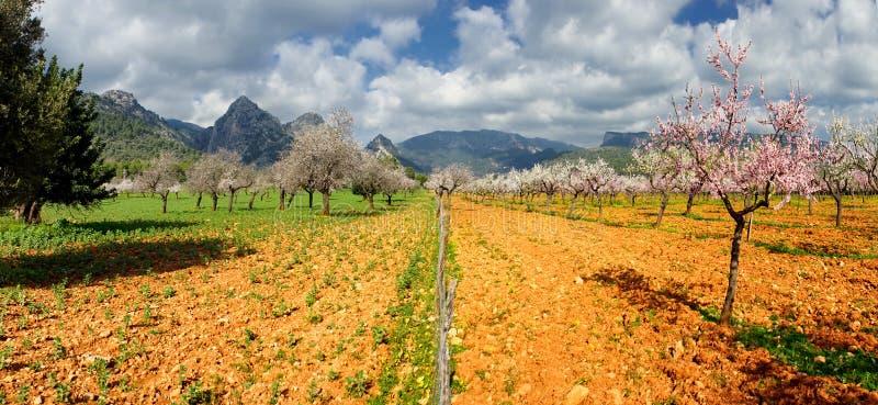 Blomstra mandelträdet royaltyfria bilder