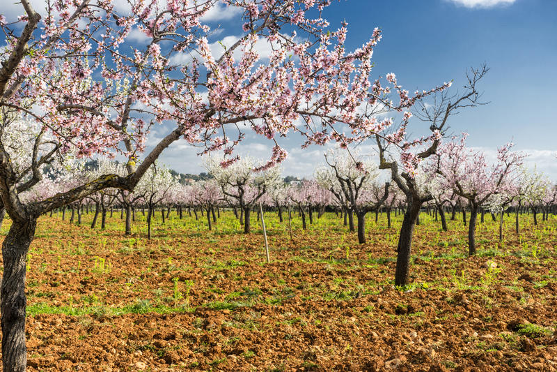 Blomstra mandelträdet arkivfoton