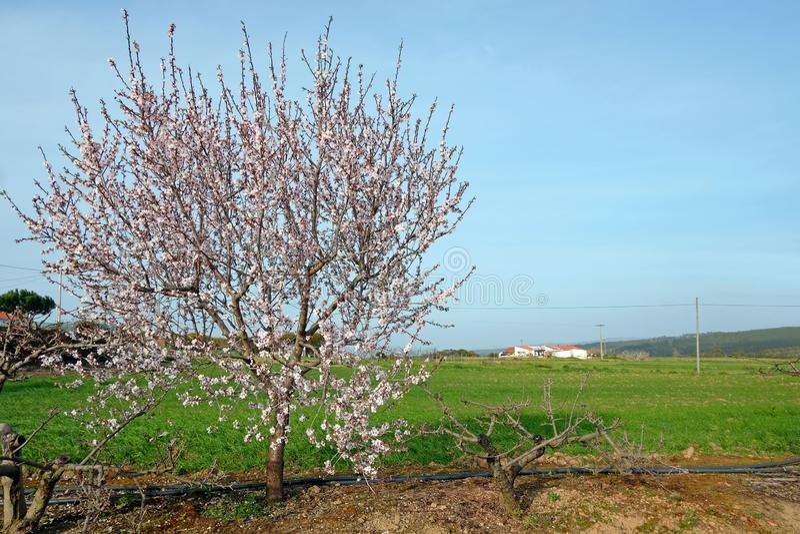 Blomstra mandelträdet i vår i bygden från Portugal royaltyfri fotografi