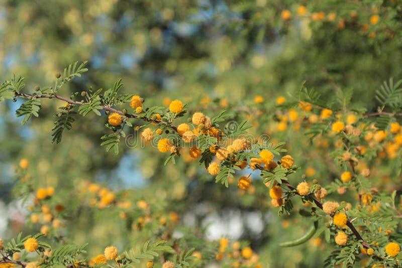 blomstra mimosa arkivfoton