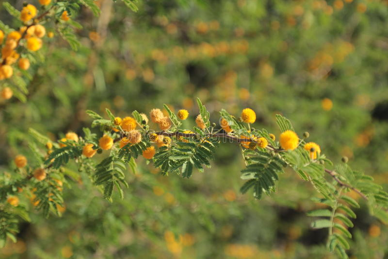 blomstra mimosa royaltyfri foto