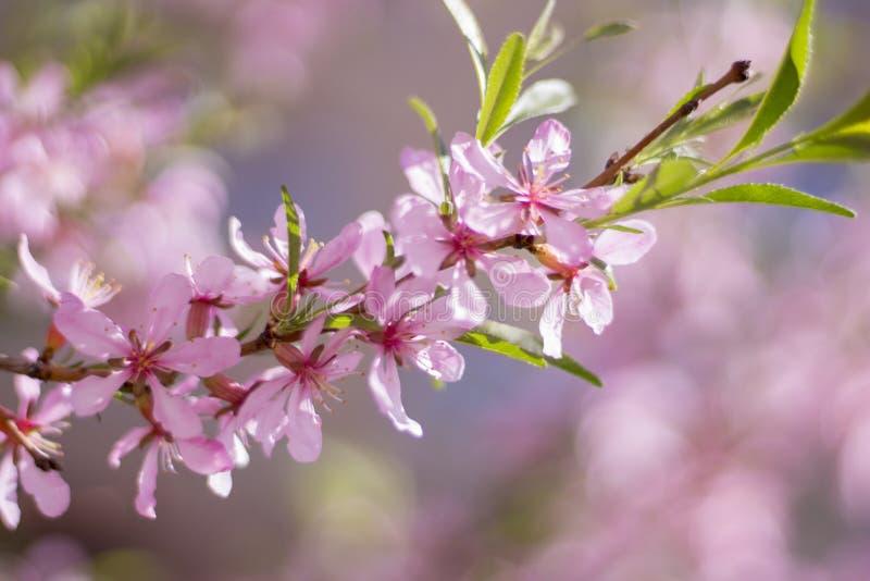 blomstra morgon för körsbärsrött träd på våren i trädgården royaltyfri foto