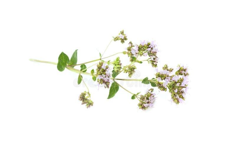 Blomstra oreganon, lösa mejram, origanumvulgare, blomningväxt som isoleras på vit bakgrund arkivfoton