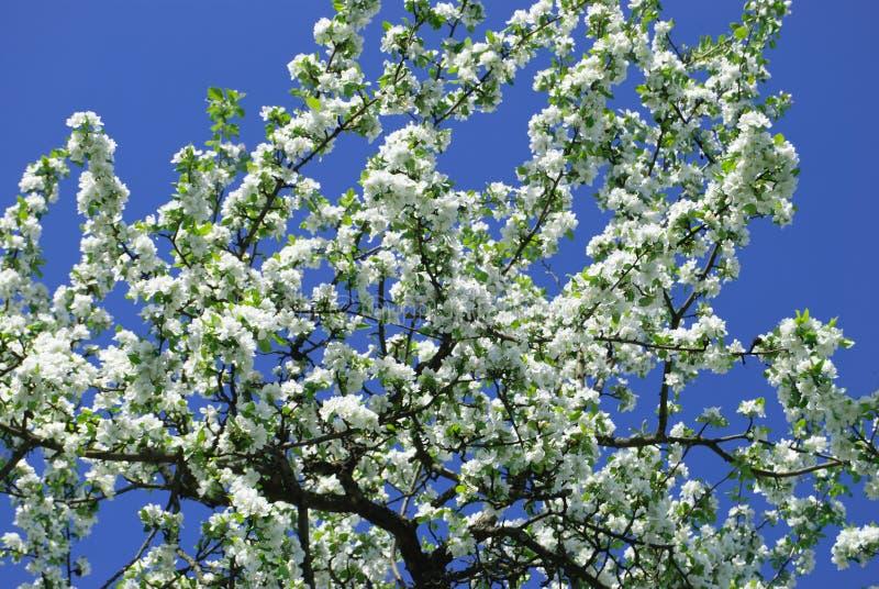 Blomstra päron-trädet royaltyfri bild