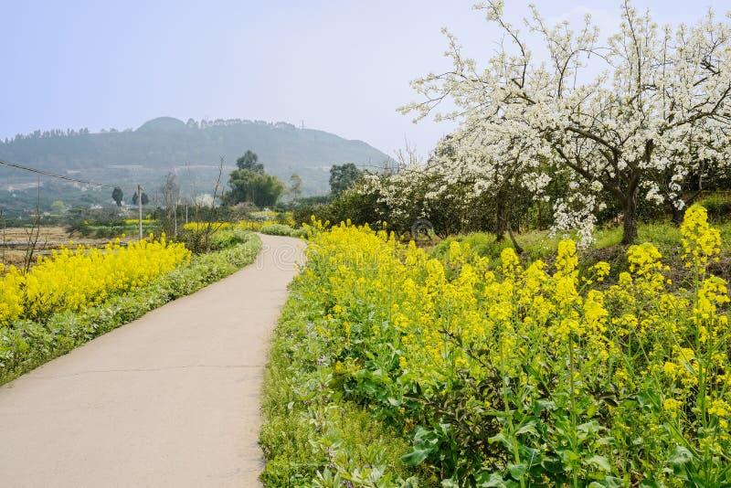 Blomstra päronträd i blomning våldta på fältet vid countryroad royaltyfria foton