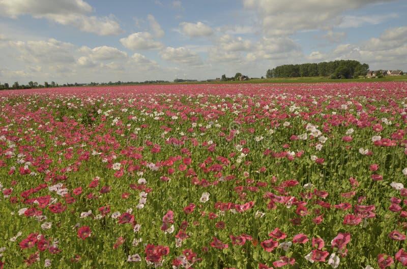 Blomstra Papaverfältet arkivfoton