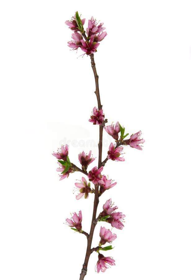 blomstra persikan arkivbild