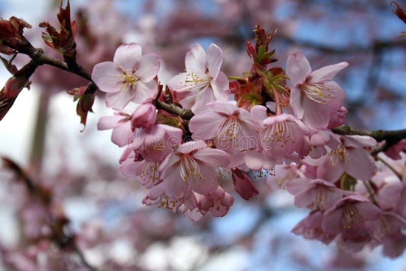 blomstra persikan royaltyfria bilder