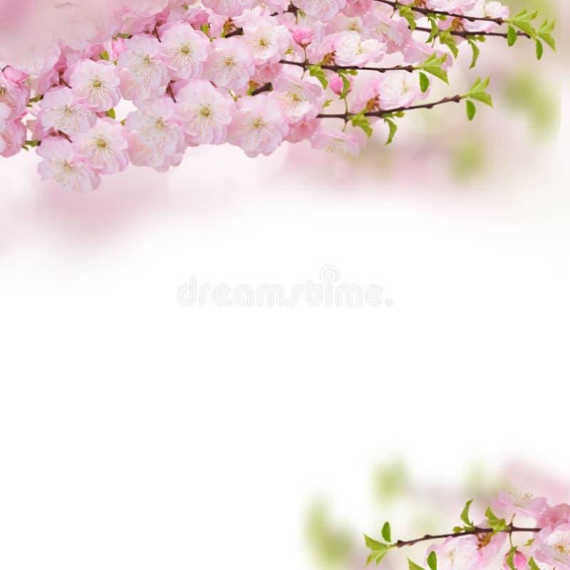 Blomstra rosa trädblommor fotografering för bildbyråer