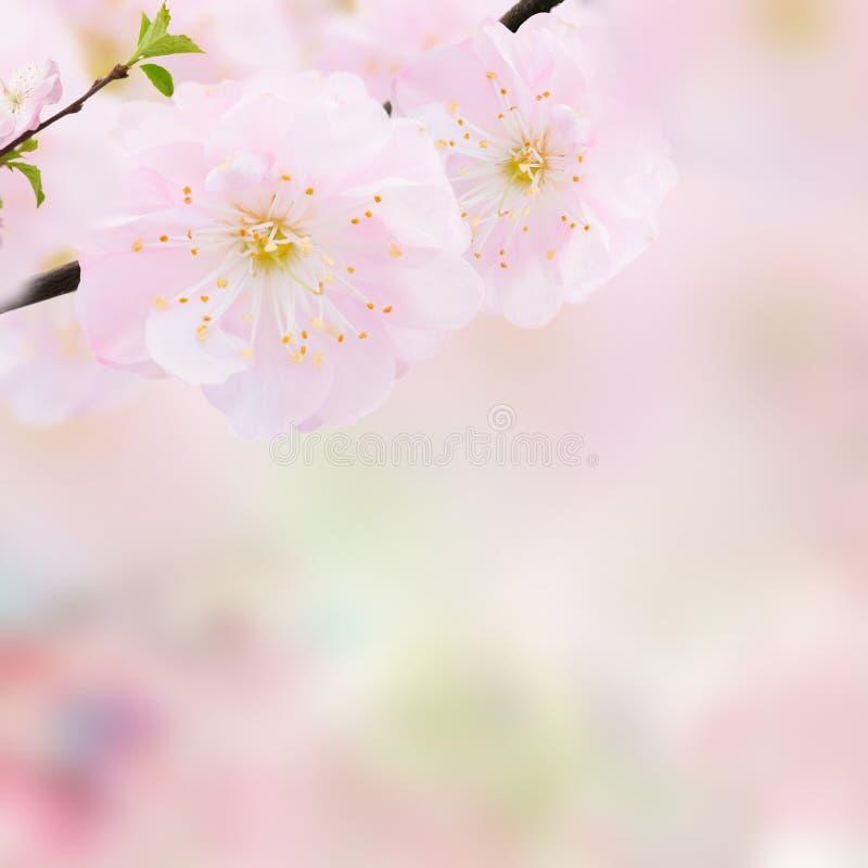 Blomstra rosa trädblommor arkivfoto
